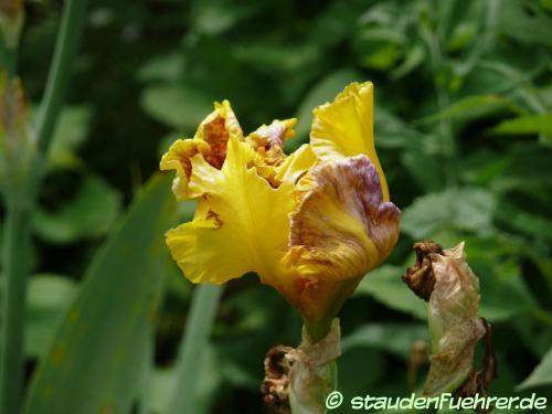 Bild Iris germanica Hybr. 'Dazzling Gold'