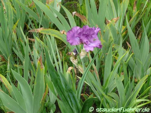 Image Iris germanica Hybr. 'Raspberry Frills'
