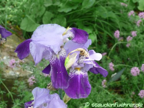 Image Iris germanica Hybr. 'Rheintraube'