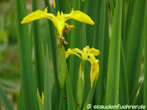 Bild Iris pseudacorus