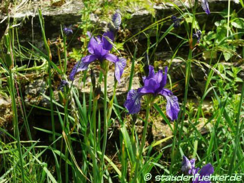 Bild Iris sibirica