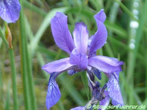 Bild Iris urumovii