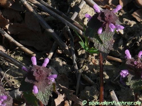 Bild Lamium purpureum