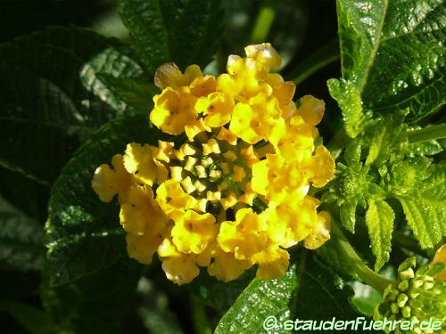 Image Lantana camara esperanta yellow ®