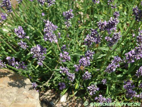 Image Lavandula angustifolia 'Sophia'