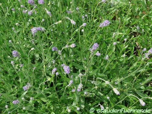 Image Lavandula angustifolia 'Munstead'