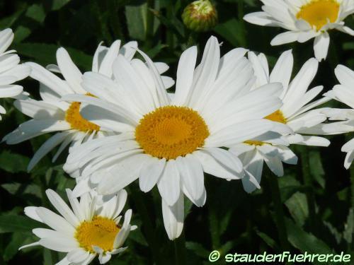 Bild Leucanthemum maximum