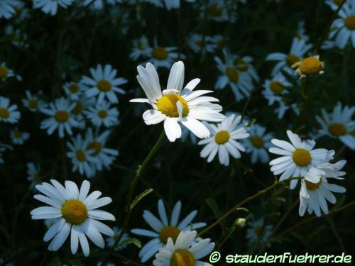 Image Leucanthemum vulgare