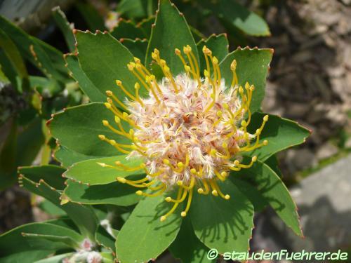 Image Leucospermum conocarpodendron