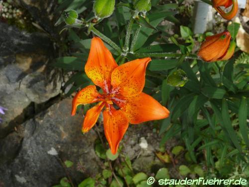 Bild Lilium bulbiferum