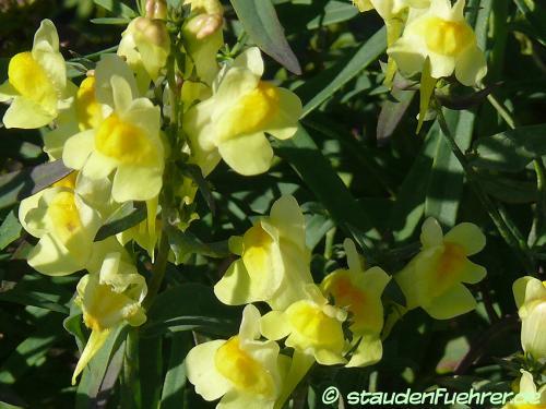 Bild Linaria vulgaris