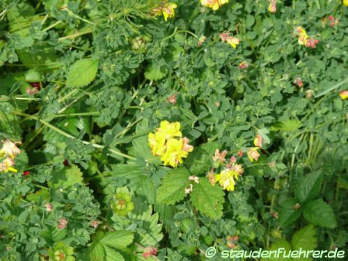 Bild Lotus corniculatus 'Plenus'