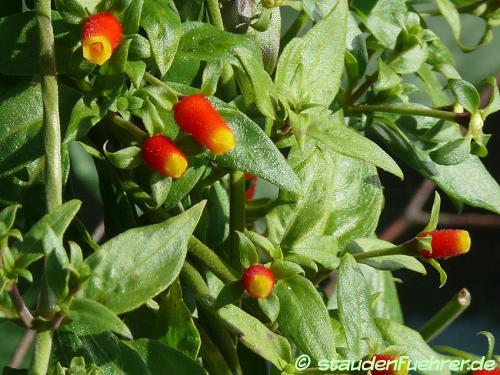 Bild Manettia luteorubra