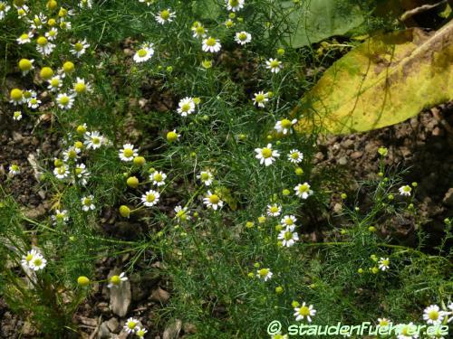 Image Matricaria chamomilla