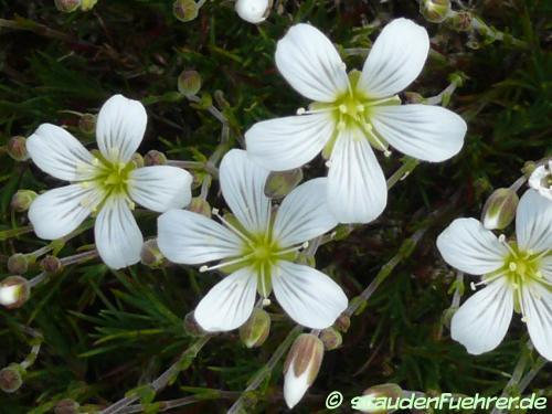 Bild Minuartia laricifolia