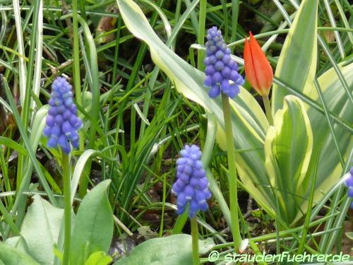 Image Muscari neglectum