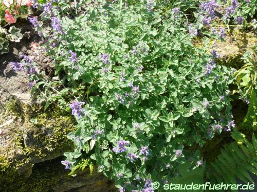 Image Nepeta x faassenii 'Walkers Low'