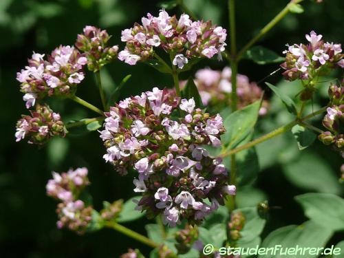 Image Origanum vulgare