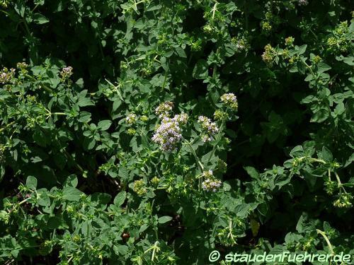 Bild Origanum vulgare