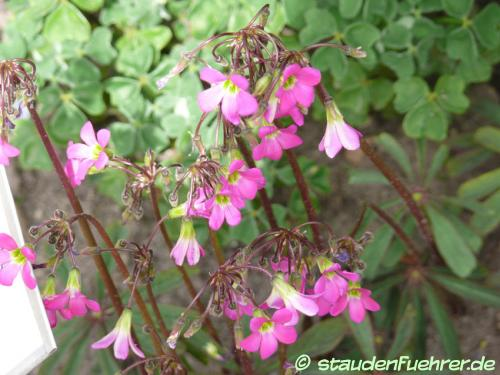 Bild Oxalis lasiandra
