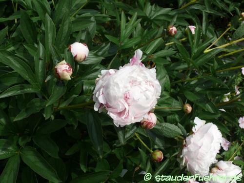 Bild Paeonia lactiflora 'Sarah Bernhardt'