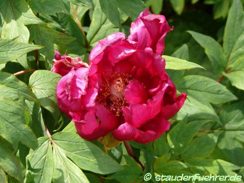 Bild Paeonia Cultivar 'Maroon'