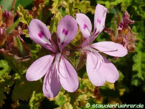 Bild Pelargonium asperum