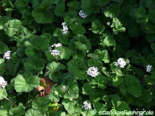 Bild Pelargonium australe