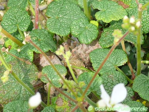 Bild Pelargonium cotyledonis