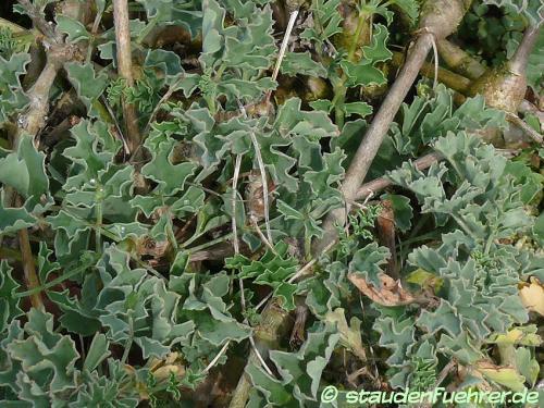Image Pelargonium gibbosum