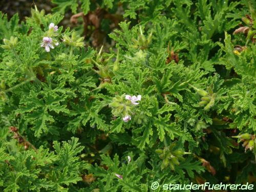 Bild Pelargonium graveolens
