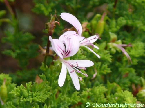 Bild Pelargonium hermanniifolium
