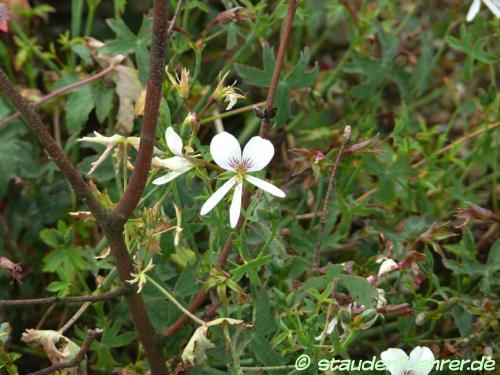 Image Pelargonium oblongatum
