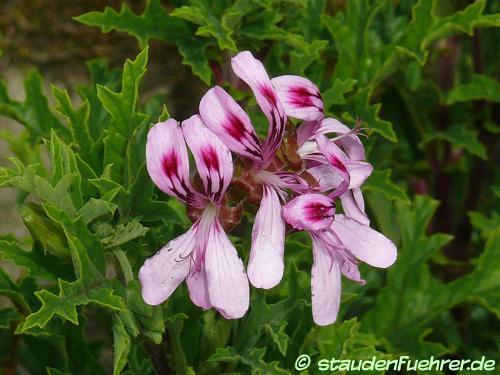Image Pelargonium pseudo glutinosum