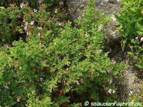 Bild Pelargonium quercifolium