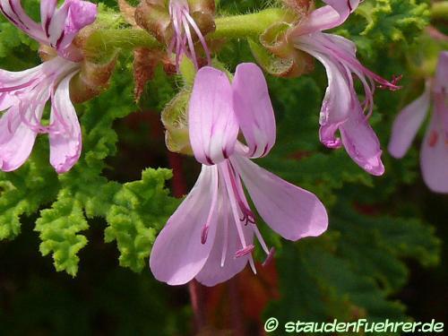 Image Pelargonium quercifolium