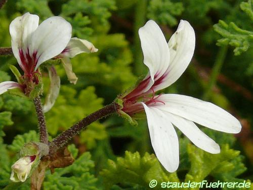 Bild Pelargonium trifidum