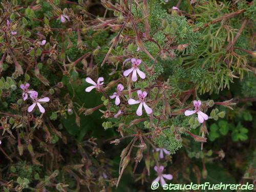Image Pelargonium abrotanifolium