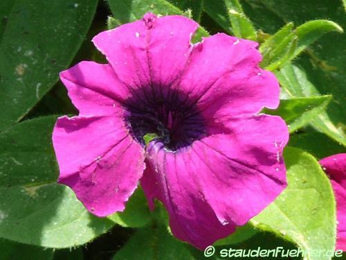Bild Petunia integrifolia