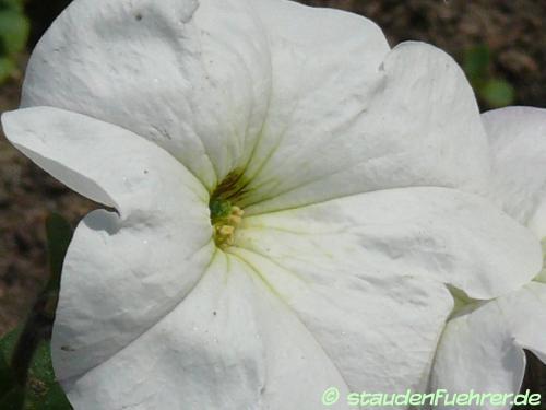 Bild Petunia axillaris