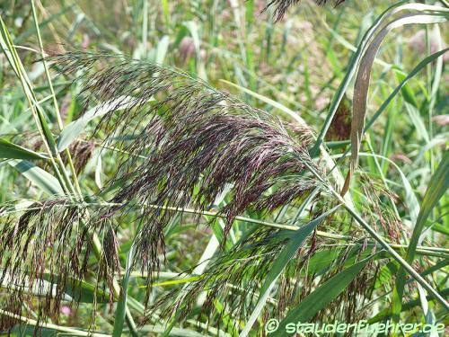 Image Phragmites australis