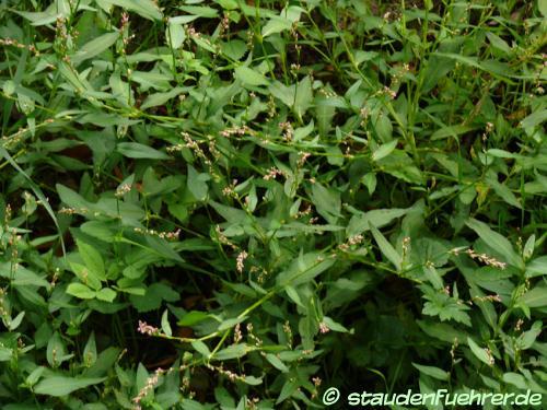 Bild Persicaria maculosa