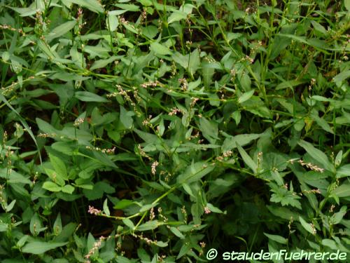 Image Persicaria maculosa
