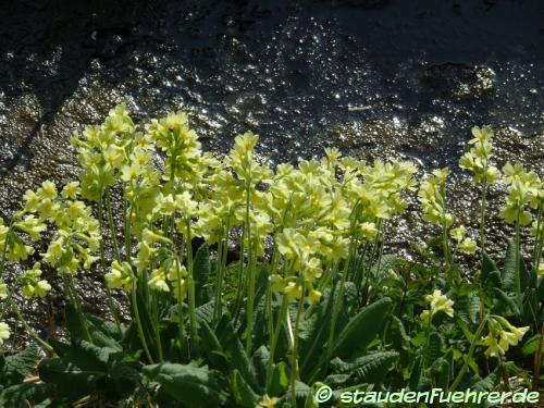 Bild Primula elatior