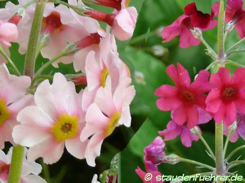 Bild Primula pulverulenta