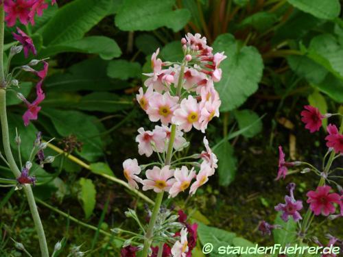 Image Primula pulverulenta
