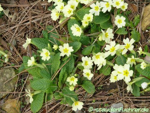 Image Primula vulgaris