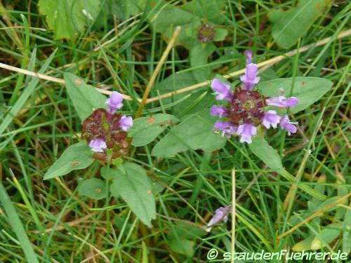 Image Prunella vulgaris