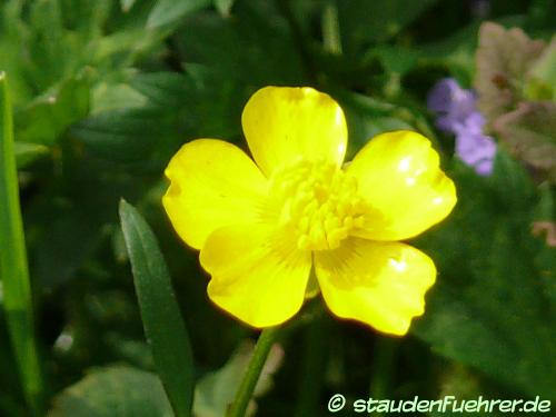 Bild Ranunculus acris