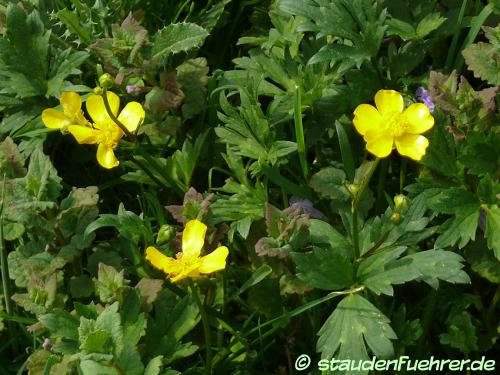 Image Ranunculus acris